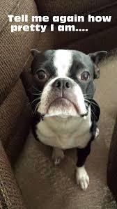 Boston Terrier Meme - awesome funny dog memes boston terrier daily funny memes