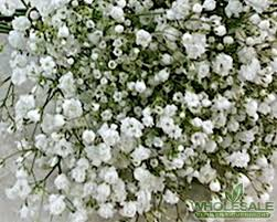 baby s breath baby s breath gypsophila gypso babies breath by the bunch