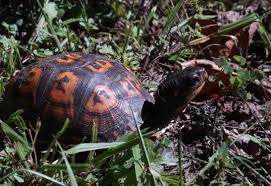 backyard wildlife sighting eastern box turtle bounteous