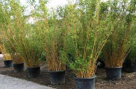 bamboo plants for sale and non invasive clumping bamboo from