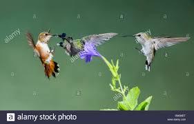 rufous hummingbird broad billed hummingbird head in flower stock