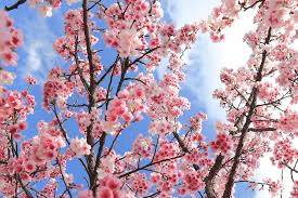 cherry blossom tree facts 6 beautiful facts about cherry blossom oak furniture uk