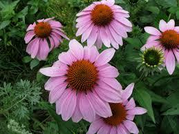 echinacea flower echinacea purpurea buy organic medicinal herb plants
