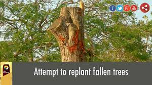 attempt to replant fallen trees