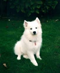 american eskimo dog puppies near me breeders american eskimo dog breeders in canada and usa