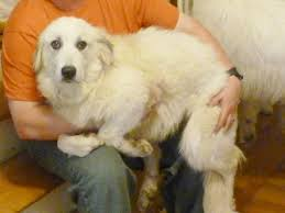 great pyrenees rescue provides wonderful dogs to good homes great pyrenees club of western pennsylvania rescue home facebook