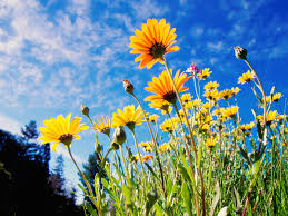 african daisies wallpapers hd wallpapers
