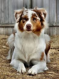 australian shepherd with german shepherd best 25 australian shepherds ideas on pinterest australian