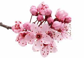 cherry blossom flowers how to grow a flowering cherry tree the garden