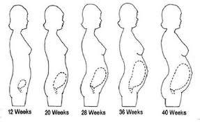 Pregnant Female Anatomy Diagram Carefully Labeled Diagram Of Pregnant Female Reproductive System