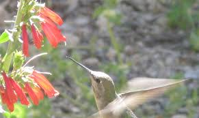 hummingbird flowers study of flowers co evolution with bees and hummingbirds earns