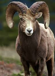 rocky mountain big horn sheep comes off worse close encounter with