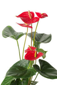 anthurium house plant flowers and leaves care of anthurium http
