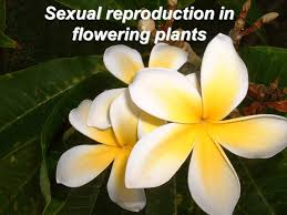 Reproduction In Flowering Plants - sexual reproduction in flowering plants ppt video online download