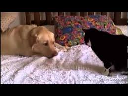 Annoyed Dog Meme - dogs annoying cats with their friendship huffington post youtube