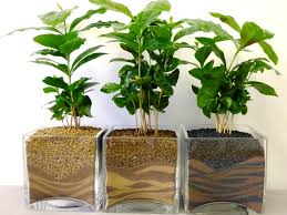inner growth coffea indoor plant