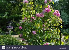 english rose rosa gertrude jekyll with trellis in a rose garden