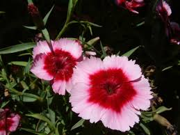 how to winterize sweet william garden guides gardening