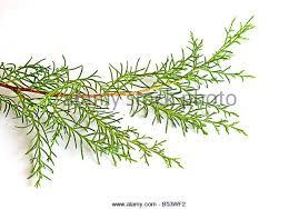 pine tree needles stock photos pine tree needles stock images