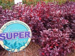 joseph u0027s coat provides colorful foliage little ruby variety named