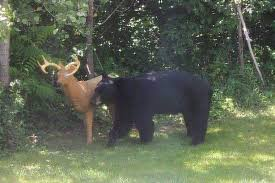 black attacks deer but remains hungry after realising
