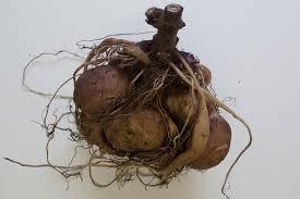 poire de terre cuisine poire de terre et fèves dans maison brocante cuisine jardin