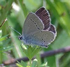 adur butterfly list 2004