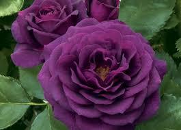 Deep Purple Color Flowers Deep Purple Passion Roses Color Desktop Wallpapers For Hd
