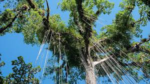 woody vines could act as lightning rods in tropical forests