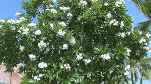 tree with white flowers beautiful big tree with white flowers swaying in the wind stock
