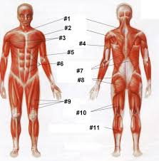 Human Anatomy And Physiology 9th Edition Marieb And Hoehn Just Another Anatomy And Physiology Site Anatomy And Physiology