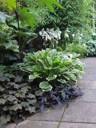 22 kamelionsbuske rosavit actinidia kolomikta garden and