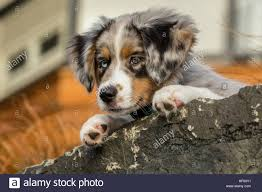 t r australian shepherds three month old blue merle australian shepherd puppy luna