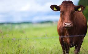 the cattle disease spreading from texas to iowa modern farmer
