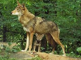 ruling allows wolves pups to be killed on national