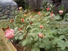 raised bed rose gardening u2013 update the redneck rosarian
