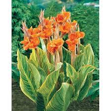Cana Lilly Canna Pretoria Easy Garden Wow Petula