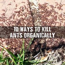 25 unique killing ants ideas on pinterest borax to kill ants