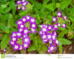 Verbena Flower Beautiful Purple Verbena Flowers Stock Photo Image 25345750