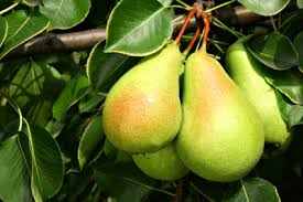 gourmet pears cold hardy pear tree varieties types of pear trees for zone 4