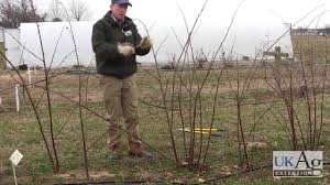 blackberry pruning demonstration youtube