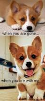 best 25 funny corgi pictures ideas on pinterest corgi funny