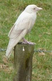 What Does A Barn Owl Look Like The 25 Best What Does Albino Mean Ideas On Pinterest Barn Owl