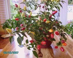 pepper prairie edible ornamental pepper capsicum