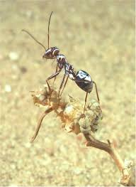 saharan silver ants use hair to survive earth u0027s hottest