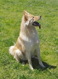 australian shepherd wolf mix dog of the day dexter the golden retriever chow mix the dogs of