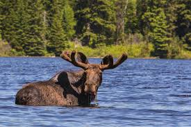 in search of algonquin moose a canadian wildlife safari
