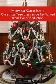 caring for a christmas tree with a root ball eve of reduction