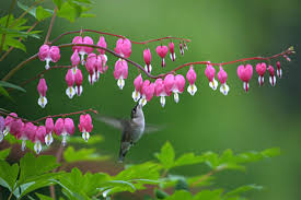 bleeding heart flower plant a bleeding heart for generations of bloom growing together