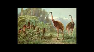 why did new zealand u0027s moas go extinct science aaas